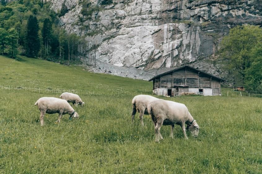 Lauterbrunnen sheep Switzerland
