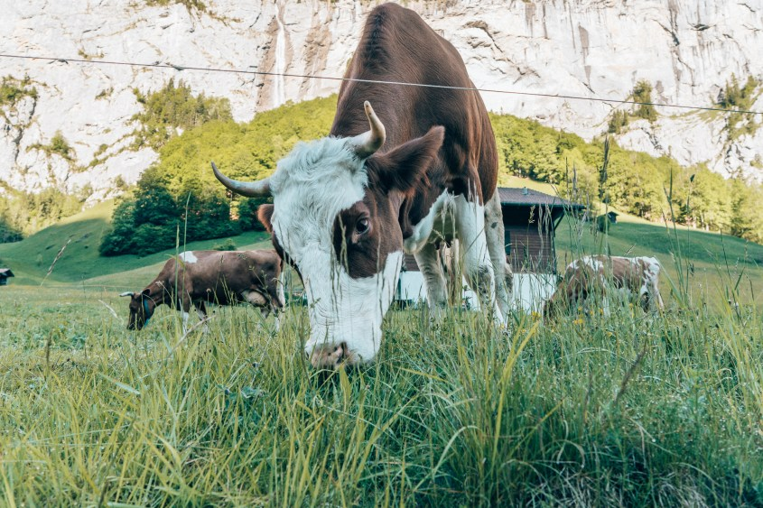 Lauterbrunnen cows Switzerland