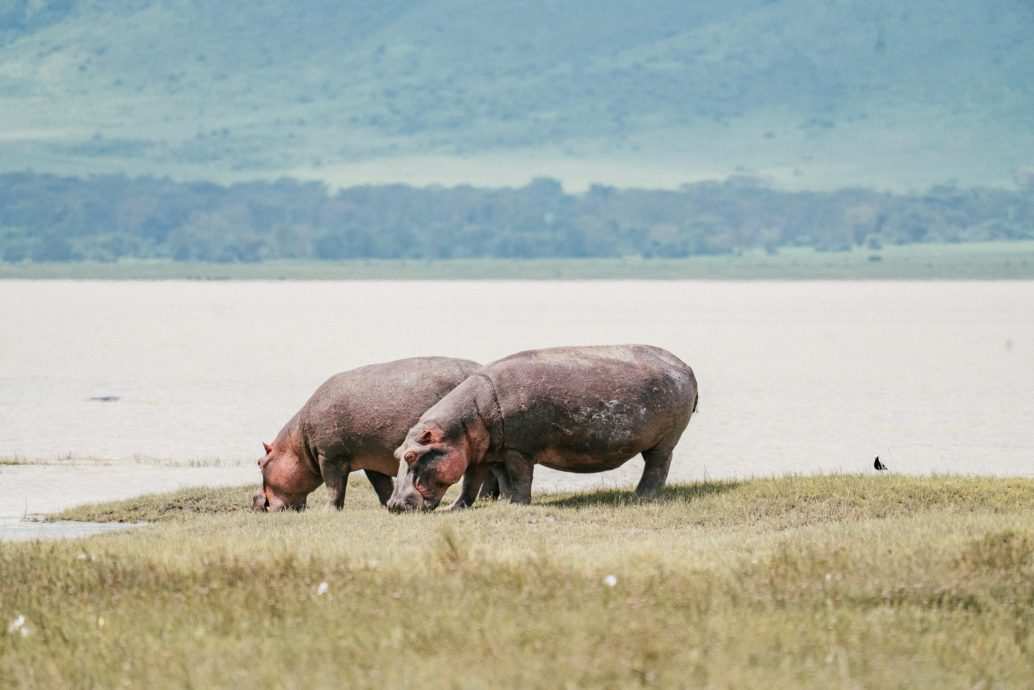 hippos grazing safari