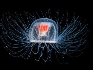 Може ли да бъде алтернатива на отрицателното лечение на коранавирус от медузи?