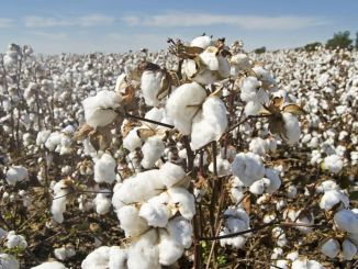"""פרימיום כותנה זרעים גדל ב -1,1 לירה לק""""ג"""