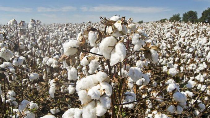Seed Cotton Premium เพิ่มขึ้น 1,1 Lira ต่อกิโลกรัม