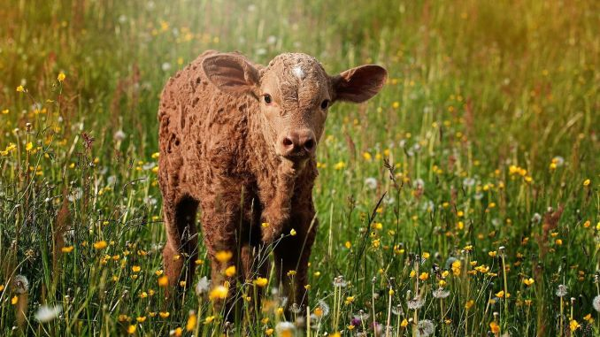 Calf Support Application Payments Can Be Made Via E-Government
