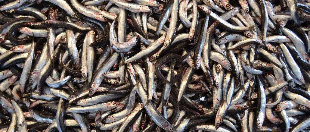 minister explained anchovy hunting ban may extend
