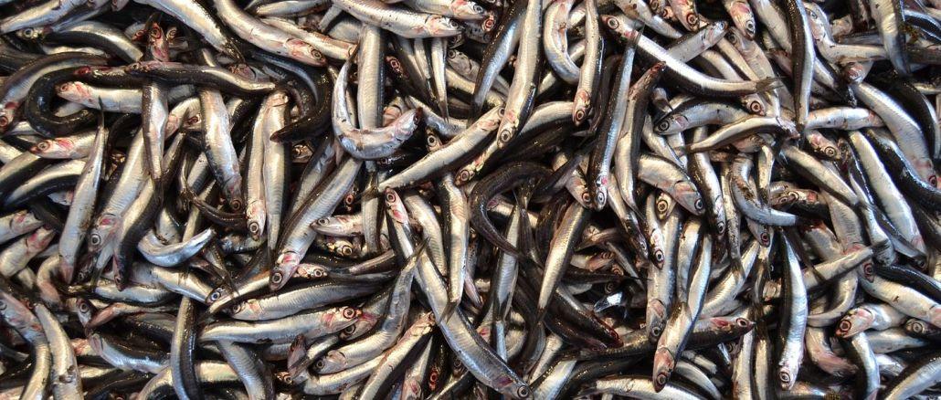 министар је објаснио да се забрана лова на инћуне може продужити