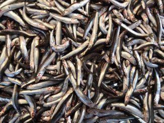 Le ministre a expliqué que l'interdiction de la chasse à l'anchois pourrait être prolongée