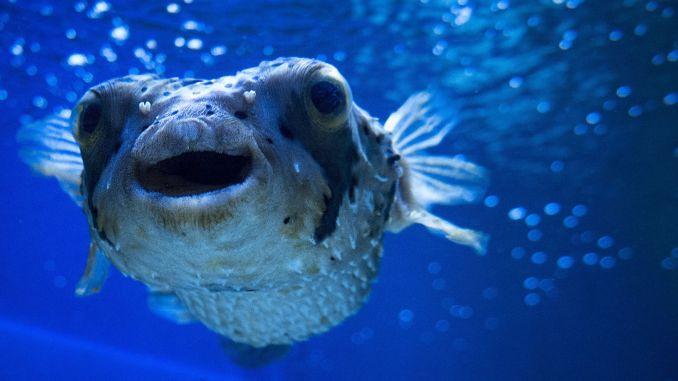Balloon fish venom turns into painkillers trials have begun