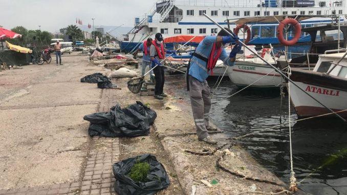 The sea lettuce in İzmir Korfez is being cleaned