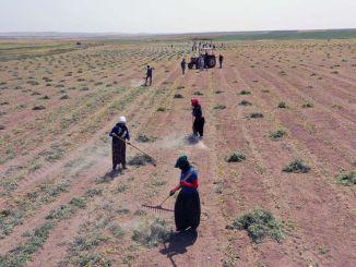 È iniziata la raccolta dei semi di lenticchia rossa distribuiti agli agricoltori della capitale