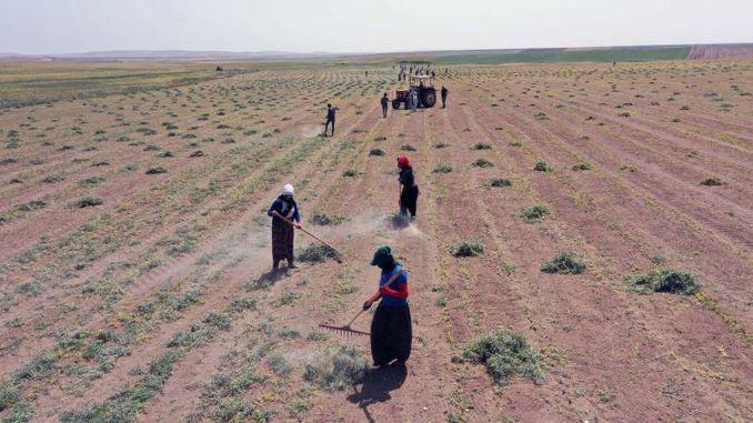 Започна прибирането на семена от червена леща, раздадени на фермерите в столицата
