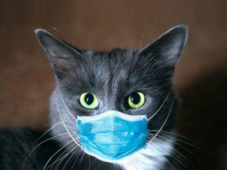 سيتم نشر مقال عن القطط الأليفة المصابة بالفيروس في المجلة البيطرية الأسترالية