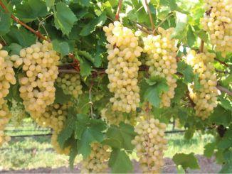 экспортный пассажирский виноград султана без косточек
