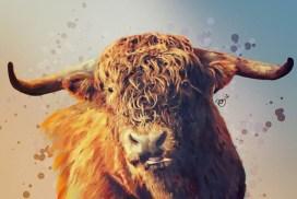 Highland cattle illustration