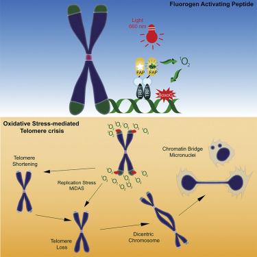 酸化ストレスがDNAのテロメアの短縮(老化)を促進することが立証された