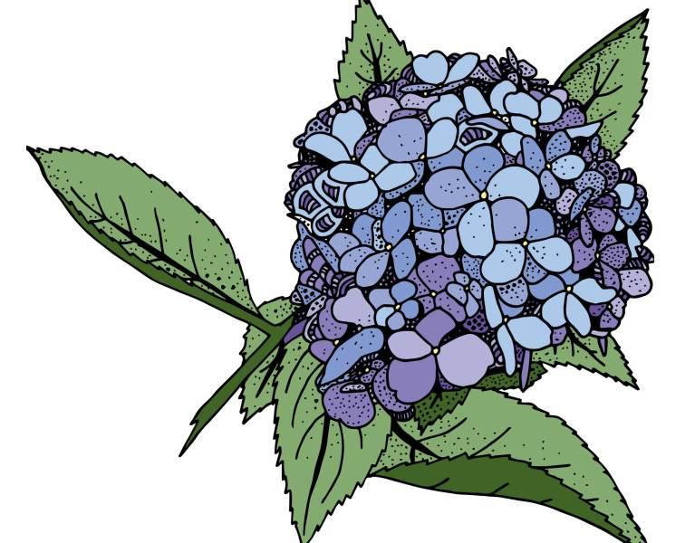 Blue Hydrangea Illustration