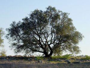 797px-Quercus_englmannii_sillouette-Noah-Elhardt-Wikimedia-Commons