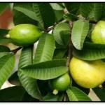 Beneficios Y Usos De La Hoja De Guayaba Para El Cabello