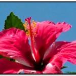 ¿Cómo Se Prepara La Flor De Cayena Para El Cabello?