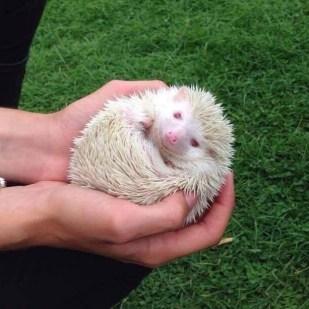 Angel the Albino African Pygmy Hedgehog