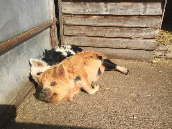Betty and Peggy, our Kune Kune Pigs, enjoying the sunshine!