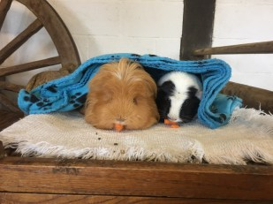 Two guinea pigs enjoying their treat!