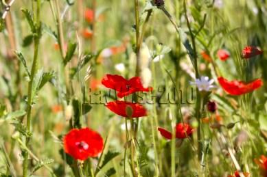 Poppy summer field