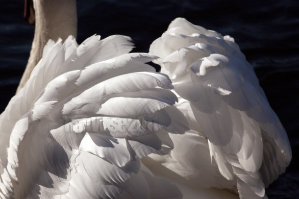 close up swan feathers