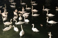 Many swans are found in Lake Zurich