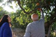 An old man picking oranges in a village next to Nazareth
