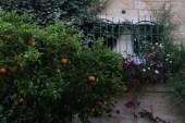 orange trees The mill in jerusalem