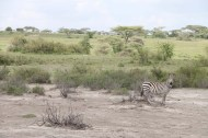 16-zebra-tanzania-serengetti-safari-animal-jungle-49