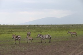 30-zebra-tanzania-serengetti-safari-animal-jungle-70