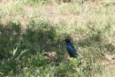 blue bird, jungle, tanzania, safari