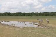 37-zebra-tanzania-serengetti-safari-animal-jungle-54