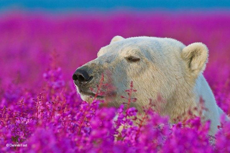 urso cheirando flores