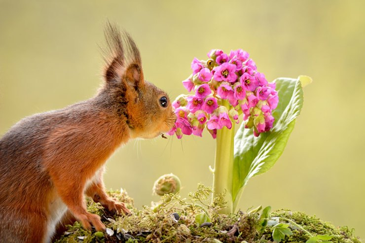 esquilo cheirando flor