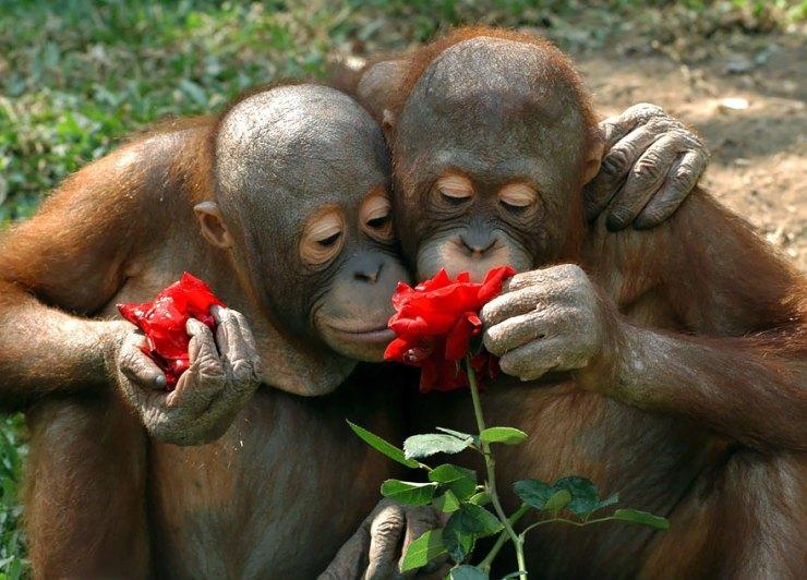 macacos cheirando flores
