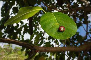 Fotógrafo se une a biólogos cubanos para salvar 'caracol mais bonito do mundo' da extinção 3
