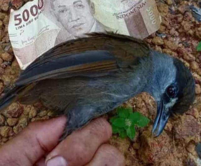 Depois de 170 anos, pássaro quase extinto é encontrado na Indonésia 1