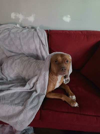 pit bull deitado sofá vermelho coberto lençol