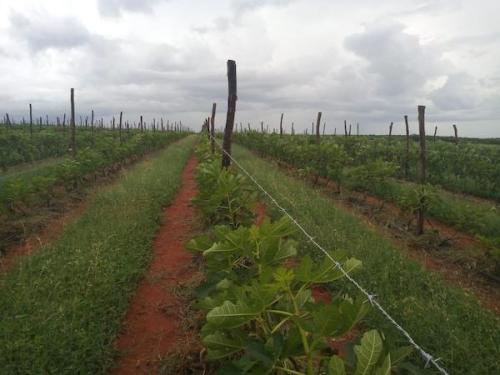 plantação de figos no nordeste