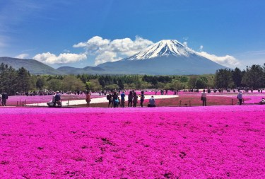Japonia_Fuji-Hakone_Shibazakura