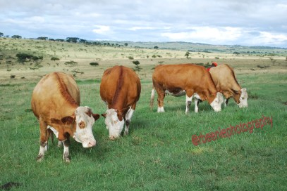 a-section-of-heifers-1-copy