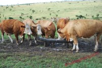a-section-of-heifers-copy