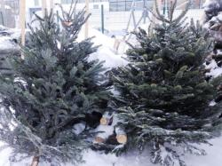 В столицу Сибири завезли датские ёлки