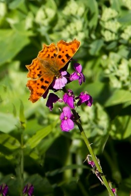 comma-on-erysimum-bowles-mauve_marcus-whitmore