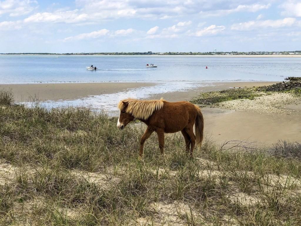 Shackleford Banks Horse - RCI Plus Topsail