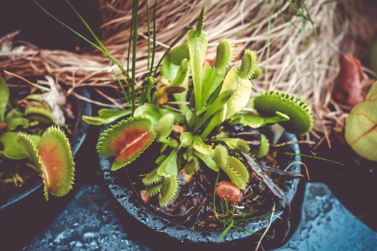 Venus flytrap Carnivorous plant rci plus topsail