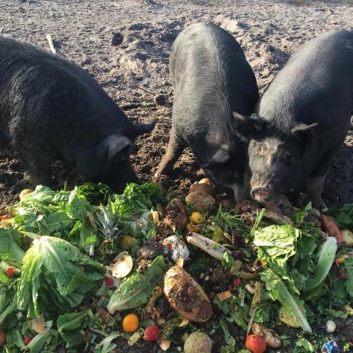 Mom pigs enjoying produce - Changin' Ways Farm - RCI Plus Topsail