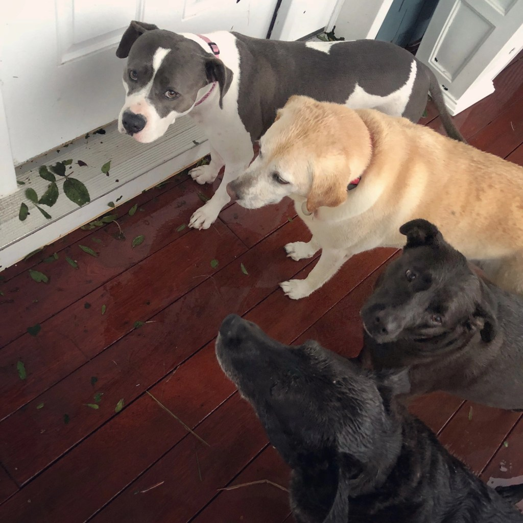 Dogs during Hurricane Florence, September 15, 2018 - RCI Plus Topsail